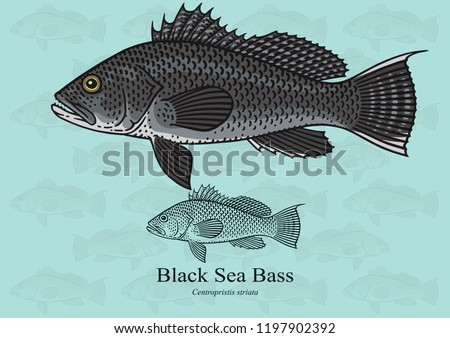Black Sea Bass. Vector illustration with refined details and optimized stroke that allows the image to be used in small sizes (in packaging design, decoration, educational graphics, etc.)
