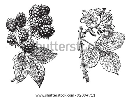 blackberry flower  blackberry