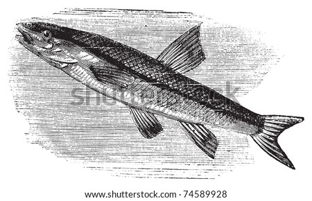 Blacknosed dace, rhinichthys atratulus or argyreus atronasus old engraving. Old engraved illustration, in vector, of a blacknosed dace fish in water.