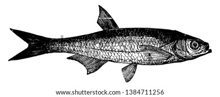 Bleak is a small freshwater coarse fish of the cyprinid family, vintage line drawing or engraving illustration.
