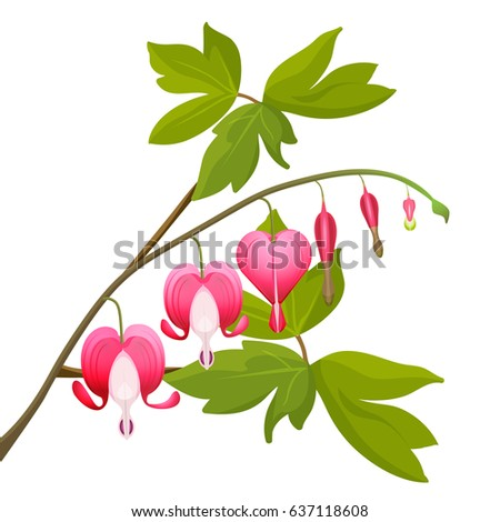 bleeding heart flowers isolated