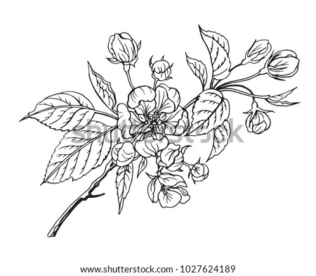 Blooming apple tree branch, black and white outline vector illustration. #1027624189