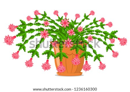 Blooming Christmas cactus in a pot. Vector cartoon illustration isolated on white background.
