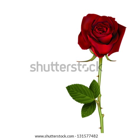 blooming red rose isolated on