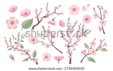 blooming sakura branches apple