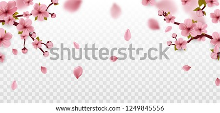 Blossom. Cherry blossom. Isolated on white. Spring sakura flowers. Vector