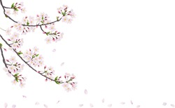 Blossom cherry branche. Vector. Pink flowers.