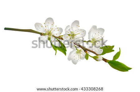 blossoming cherry branch with