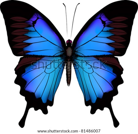 blue butterfly papilio ulysses