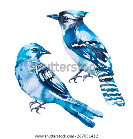 blue jay isolated on a white