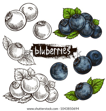 Blueberries. Hand drawn illustration. Wild berries set.