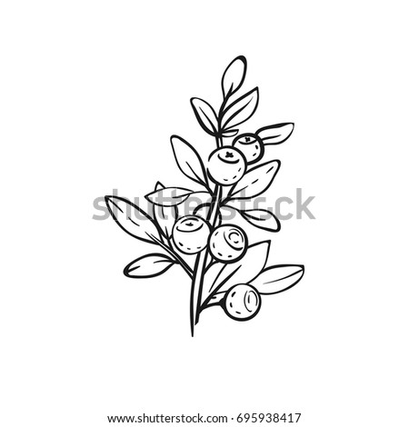 Blueberry branch isolated on white. Vector hand drawn floral illustration with blueberries. Tattoo sketch.
