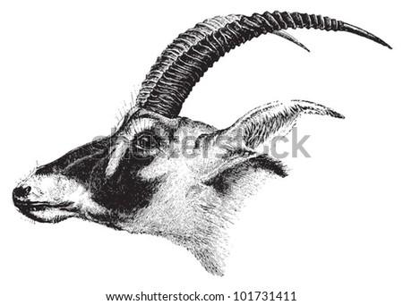 bluebuck  hippotragus