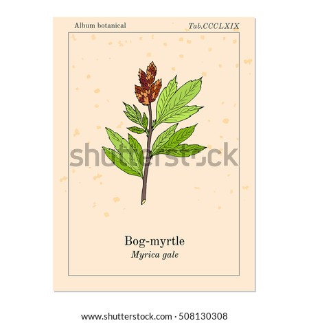 Bog-myrtle (myrica gale), or sweetgale, medicinal plant. Hand drawn botanical vector illustration