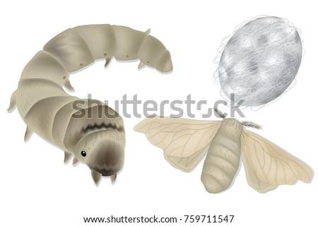 bombyx mori  silkworm and