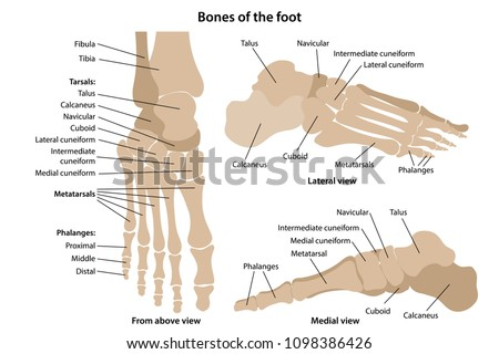 Bones of the foot with main parts labeled. From above, lateral and medial views. Vector illustration
