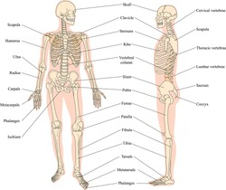 Bones of the skeleton (anterior and side). The main parts of the human skeletal system, its anatomy. Skeleton diagram. Vector.