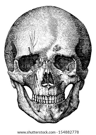 bony skeleton of the face and