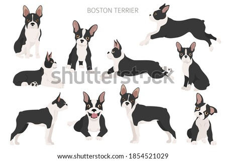 boston terrier clipart
