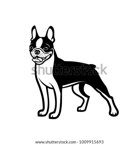 boston terrier dog   isolated