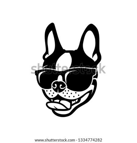 boston terrier dog wearing