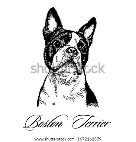 boston terrier hand drawn