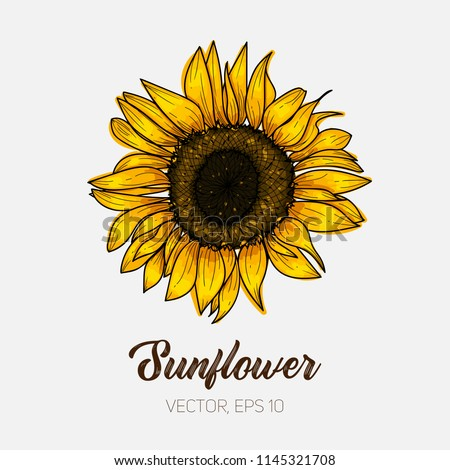 stock-vector-botanical-floral-illustration-wild-meadow-sunflower-isolated-on-white-background-card-template