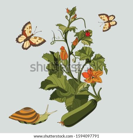 botanical illustration of