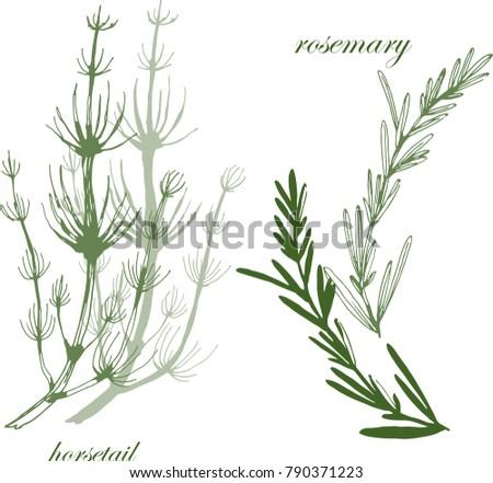 botanical illustration with