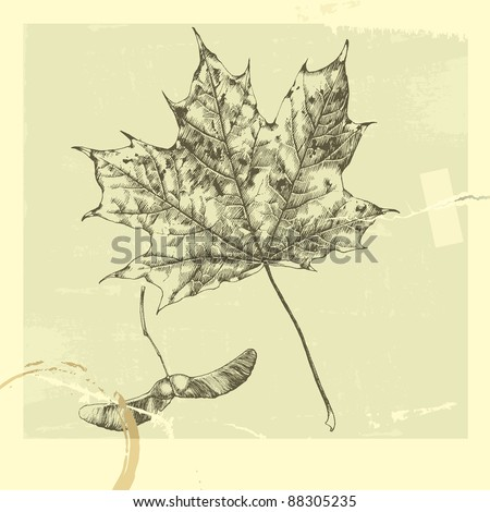Botanical set: vintage highly detailed hand drawn maple leaf and maple tree seed (helicopter leaf).
