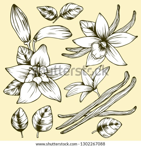 Botanical vector illustration. Vanilla flowers leaves pods and buttons. Hand drawing