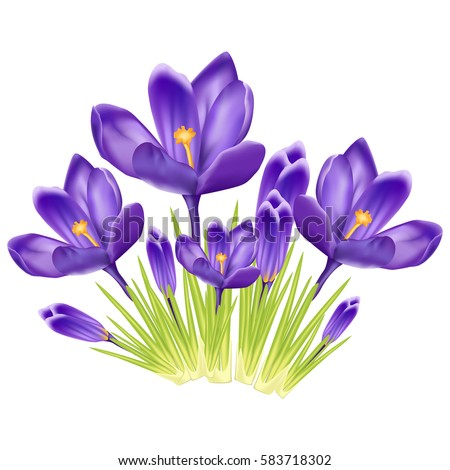 bouquet of crocus on a white