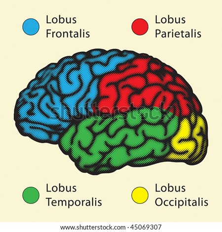 the description of the four major lobes of the human brain Can you name parts of the brain test your knowledge on this brain quiz to see how you do and compare your score too.