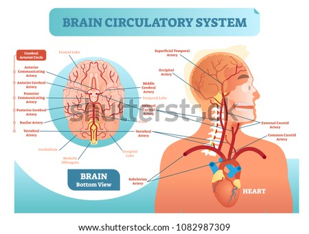 Brain circulatory system anatomical vector illustration diagram. Human brain blood vessel network scheme. Blood cycle from heart to brains.