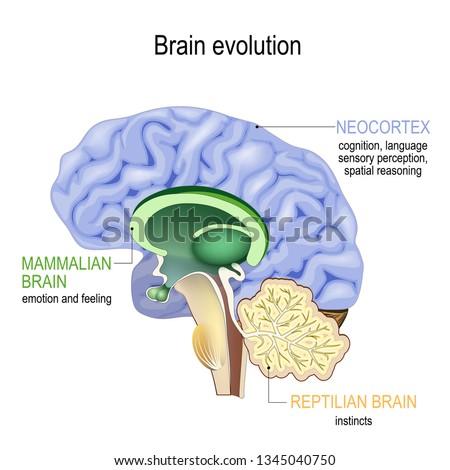Brain evolution. Triune brain: Reptilian complex (basal ganglia for instinctual behaviours), mammalian brain (septum, amygdalae, hypothalamus, for feeling) and Neocortex (cognition, language)