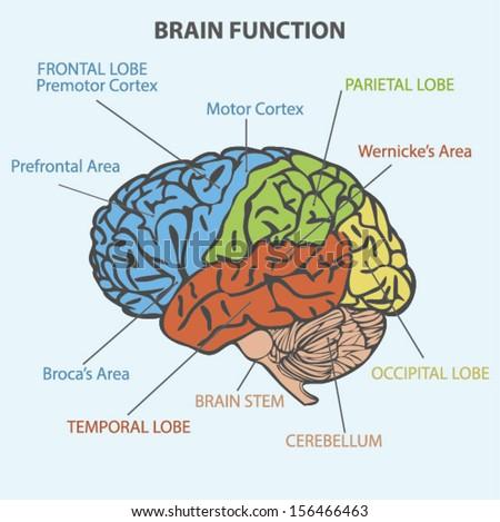 diagram of the brain – citybeauty, Human body