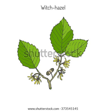 branch of a witch hazel