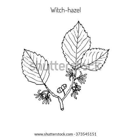 branch of a witch hazel