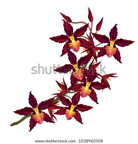 Branch of Cambria orchid with dark red flowers. Hand drawn vector illustration isolated on white background.