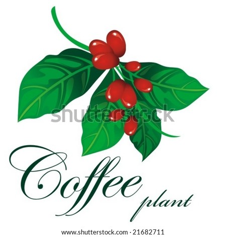 Branch of coffee plant