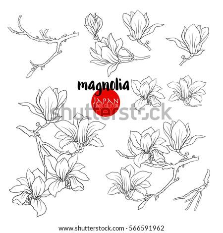 branch of magnolia blossoms