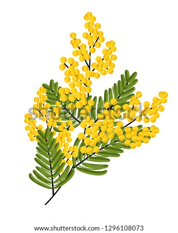 branch of mimosa isolated on