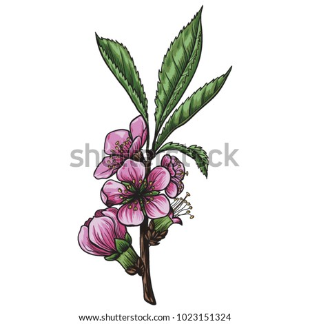 Branches of almond tree with flowers and leaves vector illustration. Hand drawn almond tree in bloom.