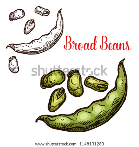 Bread bean vector sketch plant. Botanical design of vicia faba or broad and fava bean seeds in pod for farmer market and agriculture design