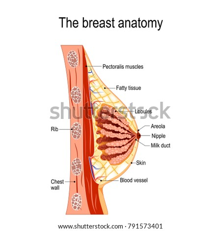 breast anatomy cross section