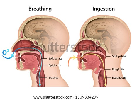 Breathing and Eating process medical 3d vector illustration on white background