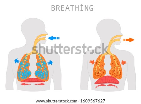 Breathing. Inhalation exhalation Operation of the Respiratory system. Fresh air inflating bronchi in lungs Discharge of polluted air from the body. Movement of the diaphragm.  Medical education Vector Stock photo ©