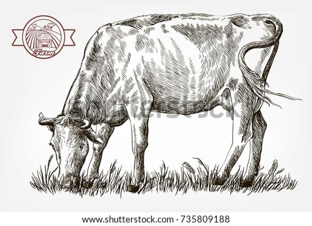 breeding cow. grazing cattle....