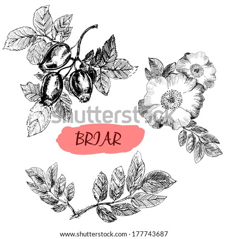 briar wild rose hand drawn