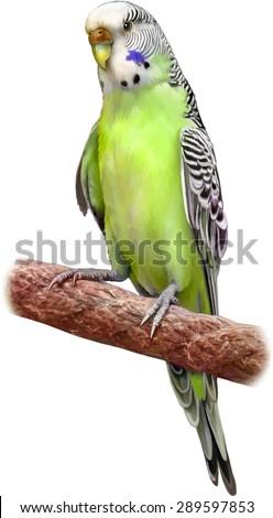 bright green blue budgerigar